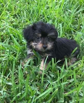 Yorkie poos michelines pups florida 1