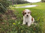 LhasaPoo pups for sale Florida micheline1