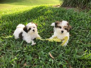 party maltipoos florida michelines pups1