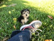 Morkies maltese yorkie pups for sale Florida Michelines Pups1