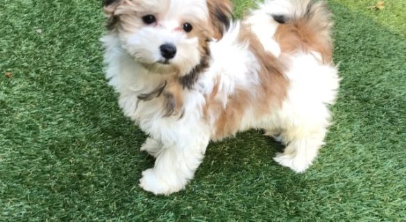 morkie for sale micheline