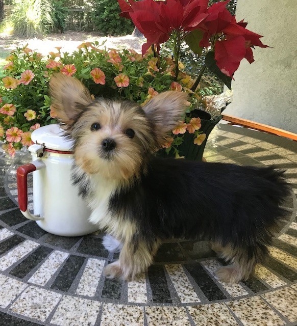 Morkie Pups for sale Florida1