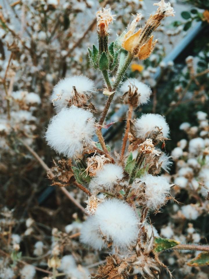 Dandelion bush.