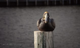 A pelican on a docking post