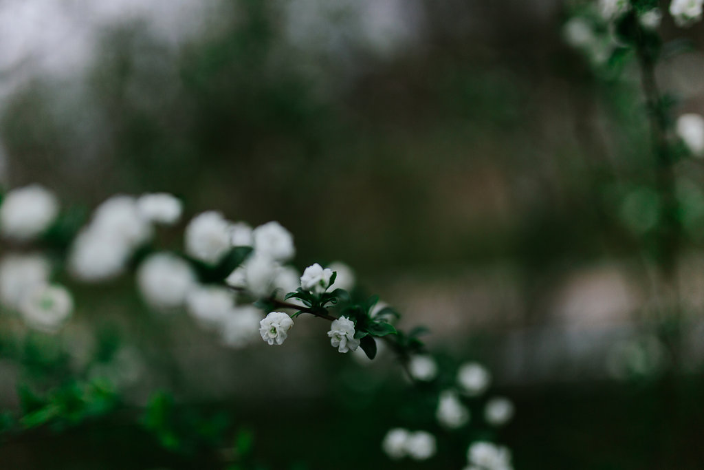 A photo of a brand from a possibly baby's breath bush located in Franklin, Tennessee. Tiny white flowers appeared in early March.