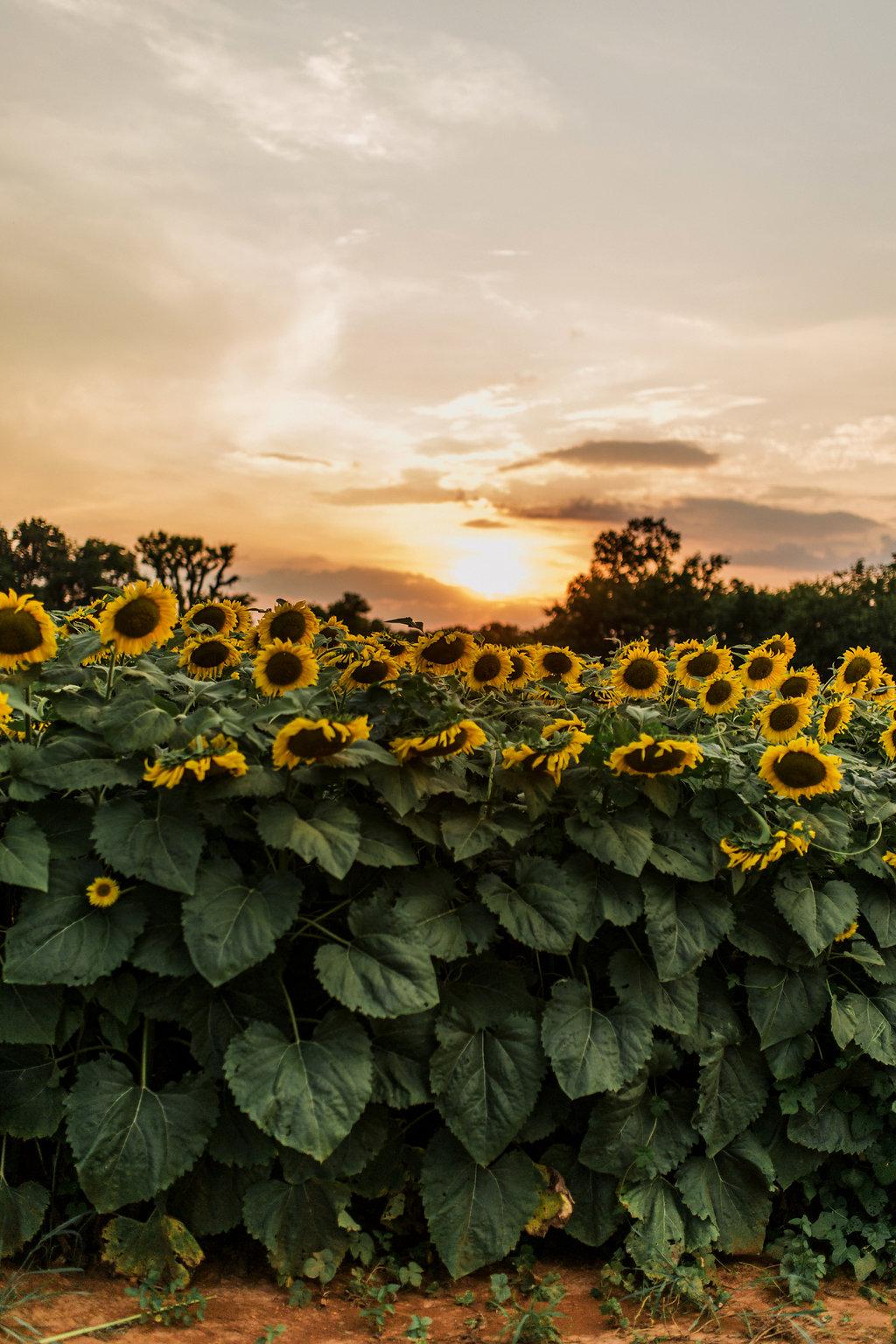 Sunflower-Maternity-Nashville-Tennessee-Field-Batey-Farms-9