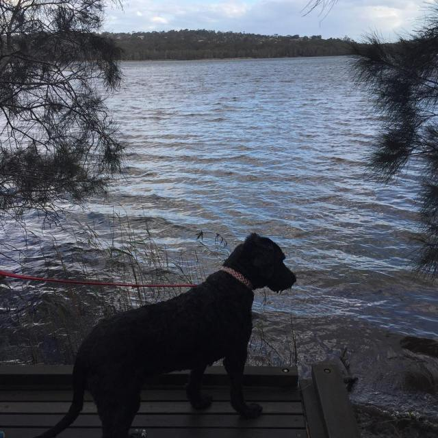 Happiness is  a portuguesewaterdog next to the lake