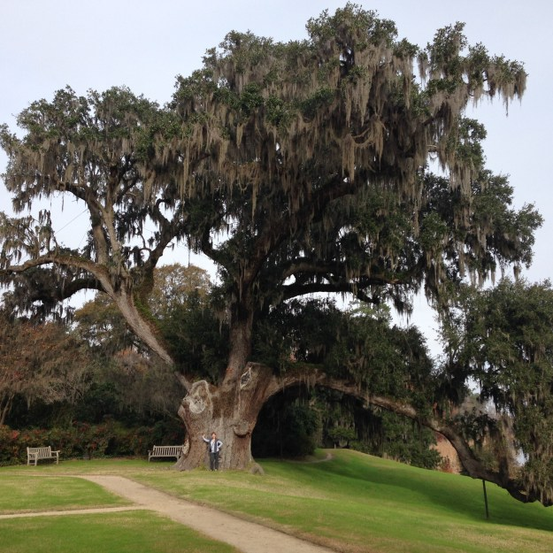 Two thousand year old live oak at Middleton Place.