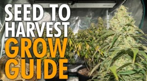 Growing Weed Start to Finish Beginners Guide – From Seed to Stoned