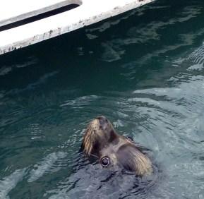 Sea lion begging at the marina
