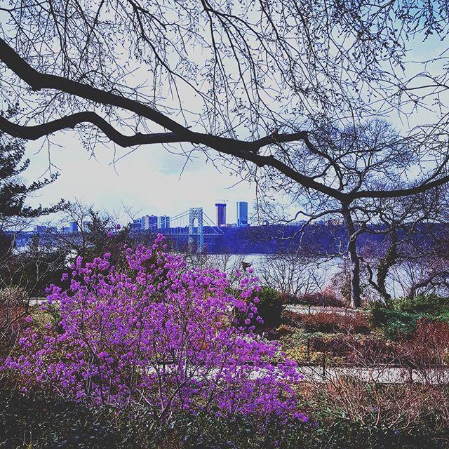 Spring In Fort Tryon Park #spring #springhassprung #forttryonpark #latergram #gwbridge #purple