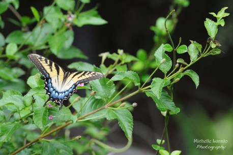 butterfly sm