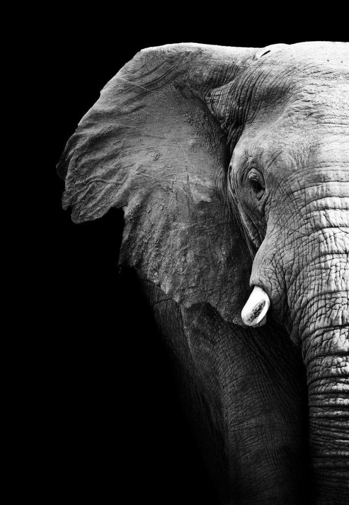 Partial image of a black and white elephant