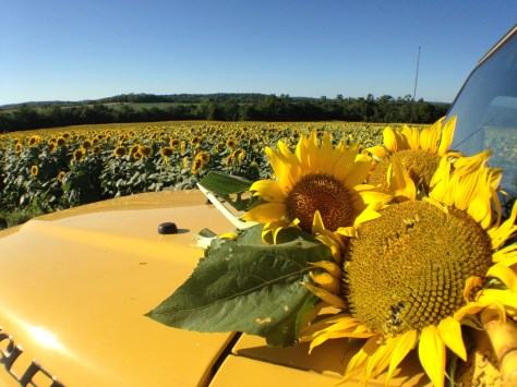 Yellow Jeep. Yellow Sunflowers