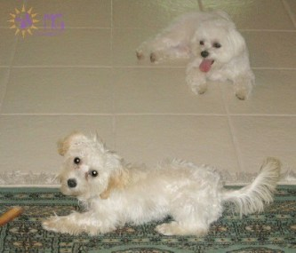 two puppies playing diary of a dog