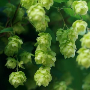 Hops by Paul Miller