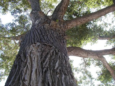 Cottonwood Summer Big Tree Hunt