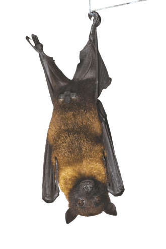 Bats Helpful Patrollers of the Night - MHL Magazine