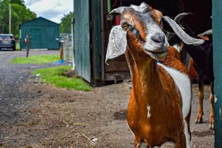 The Goat Games 2021:  Farmed Animal Sanctuaries Across the Nation Unite to Raise Funds and Awareness