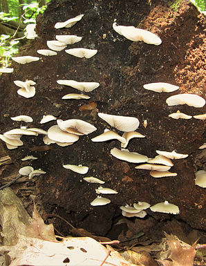 Crepidotus applanatus1