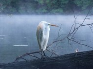 hm-traxinger-deb-egret-in-the-mist