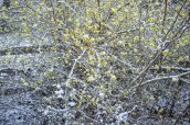 Forsythia en fleur sous la neige