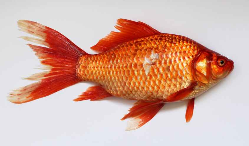 goldfish-carassius-fish-golden-45910.jpeg