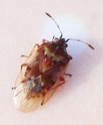 Groundbug