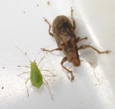 Grass Weevil - Aphid
