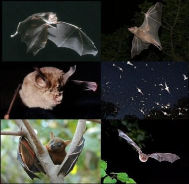 wikipedia-bats-001-v01