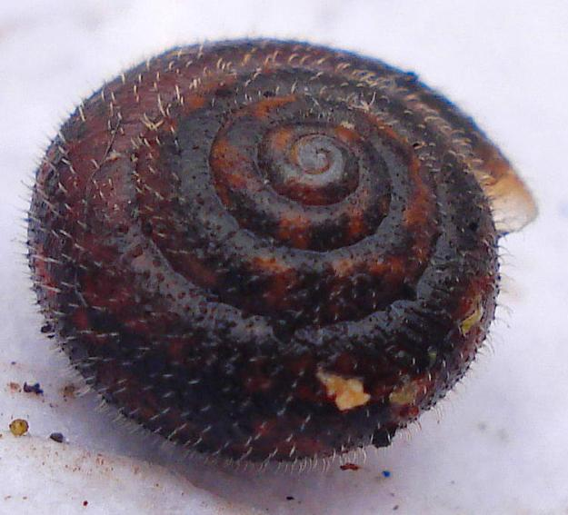 Hairy Snail (Trichia hispida)