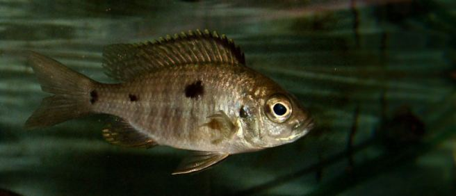wp-u6-copadiochromis-azureus-juvenile-male