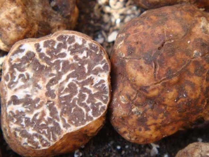 Growing white truffle bianchetto or Tuber borchii. Best host ...