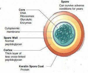 Structure of Bacterial Spore