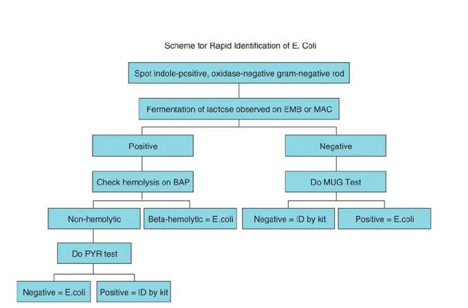 Scheme for Rapid Identification of E. coli.