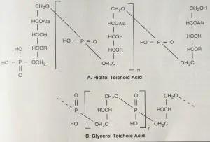Teichoic acid image