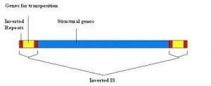 transposon gene