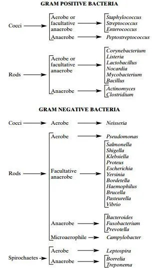 Basic classification of Medically Important Bacteria