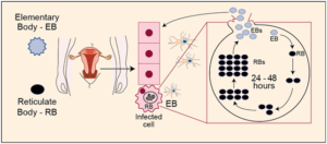 Life Cycle of Chlamydia-trachomatis