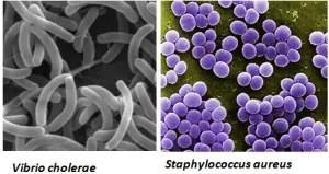 Fig: Characteristic shape of S. aureus and V. cholerae