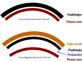 Gram positive and gram negative cell wall