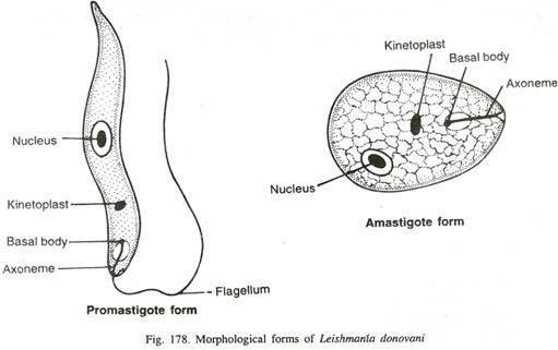 Morphological form of Leishmania donovani