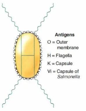 K Antigen Bacteria Enterobacteriaceae Fam...
