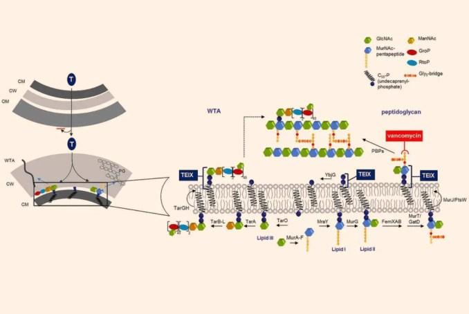 Mechanism of action of teixobactin