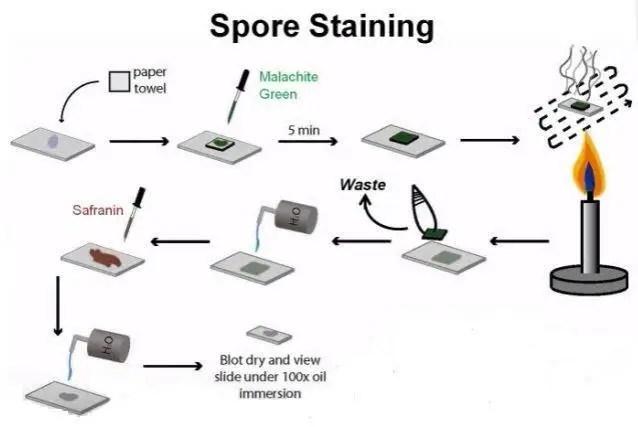 Spore staining procedure