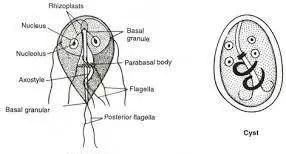 Trophozoites and Cyst of Giardia lamblia