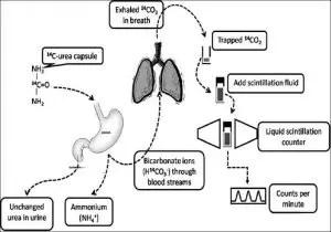 Principle behind urea breath test