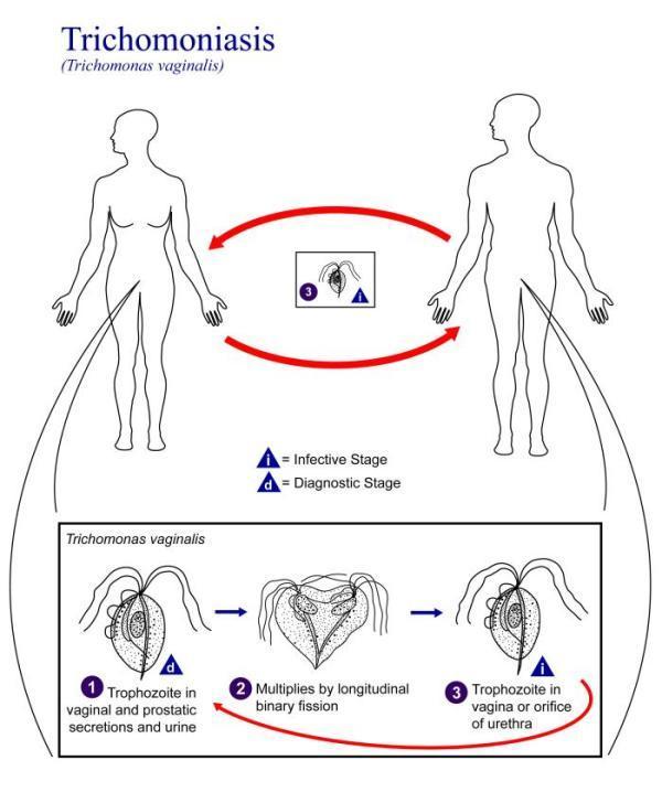 trichinosis laboratóriumi diagnózis