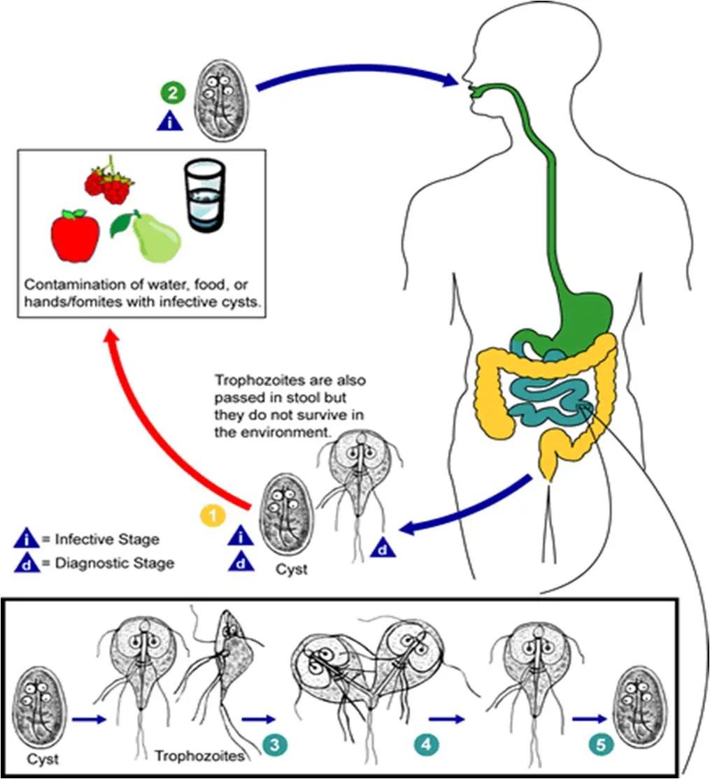 Giardia lamblia: Life Cycle, Diseases and laboratory diagnosis
