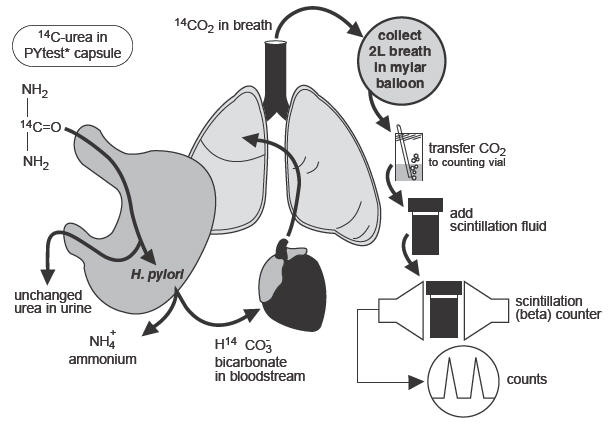 Urea breath test working principle